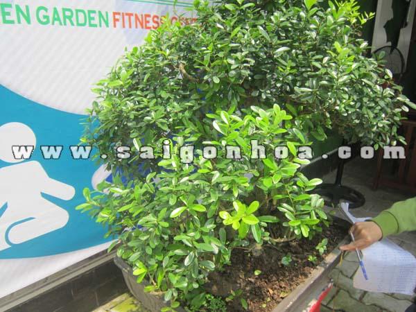 Tan La Cay Linh Sam Bonsai Cao 75 - 80 Cm