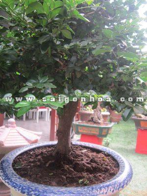 tan la than cay kim quyt bonsai cao 55 - 60 cm