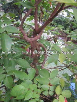 than canh cay khe bonsai cao 1.2 m