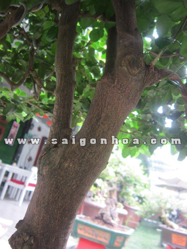 than cay kim quyt bonsai cao 55 - 60 cm