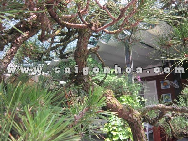 than cay phi lao bonsai cao 2.2 - 2.3 m