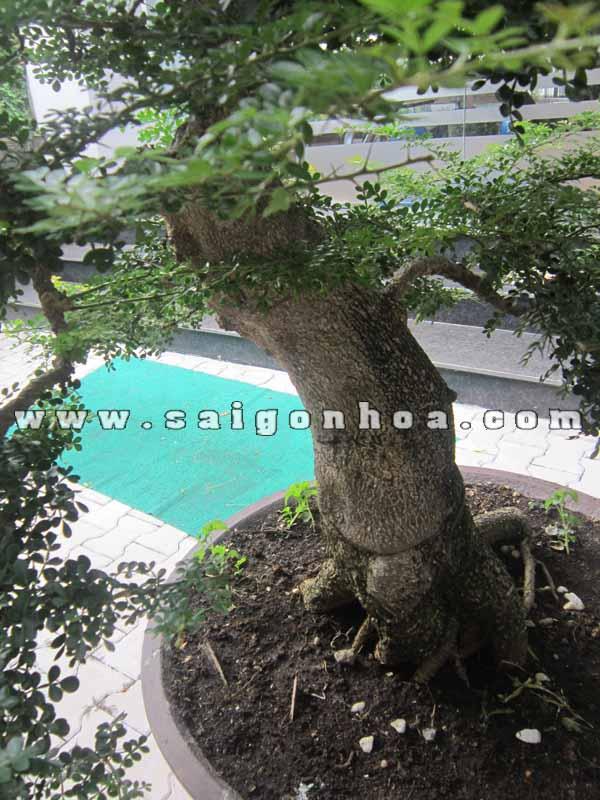 than goc cay can thang bonsai cao 1 m