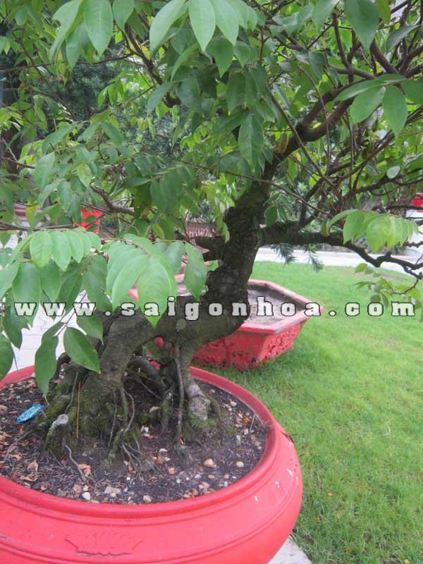 than goc cay khe bonsai cao 1.1 - 1.2 m