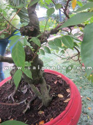 than goc cay khe bonsai cao 1.2 m