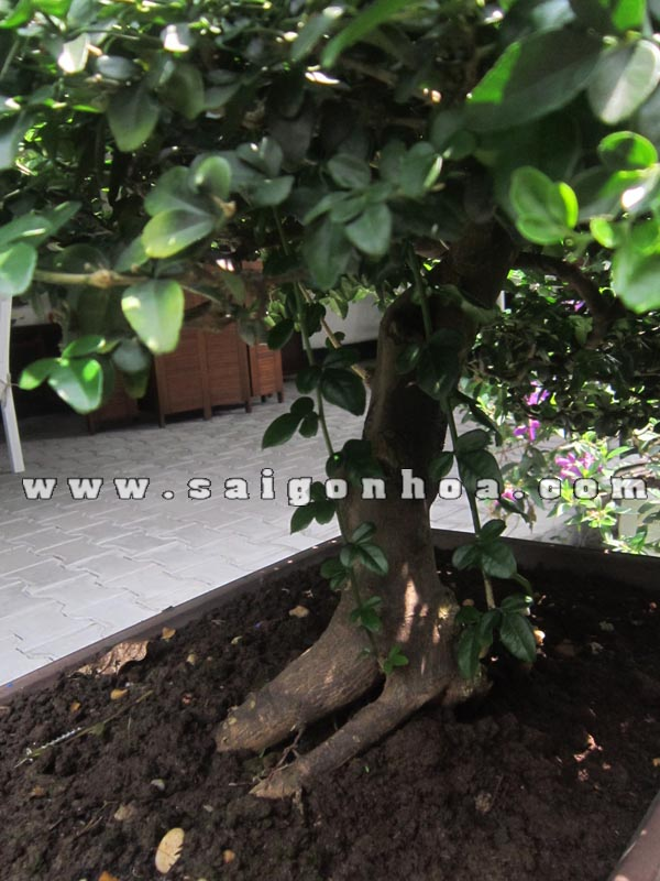 than goc cay kim quyt bonsai cao 50 cm