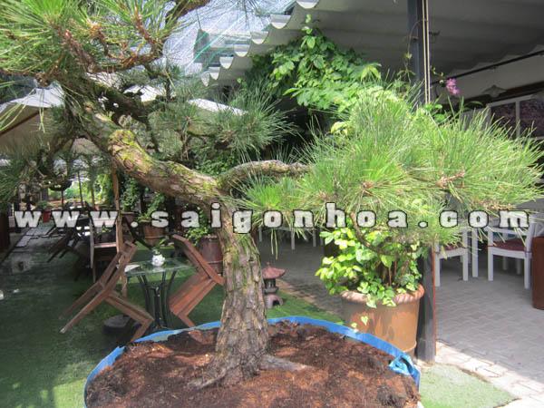 than goc cay phi lao bonsai cao 2.2 - 2.3 m