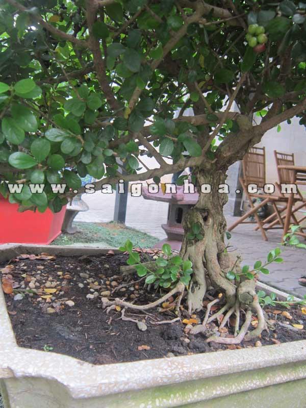 Than Goc Cay Sam Nui Bonsai Cao 60 Cm