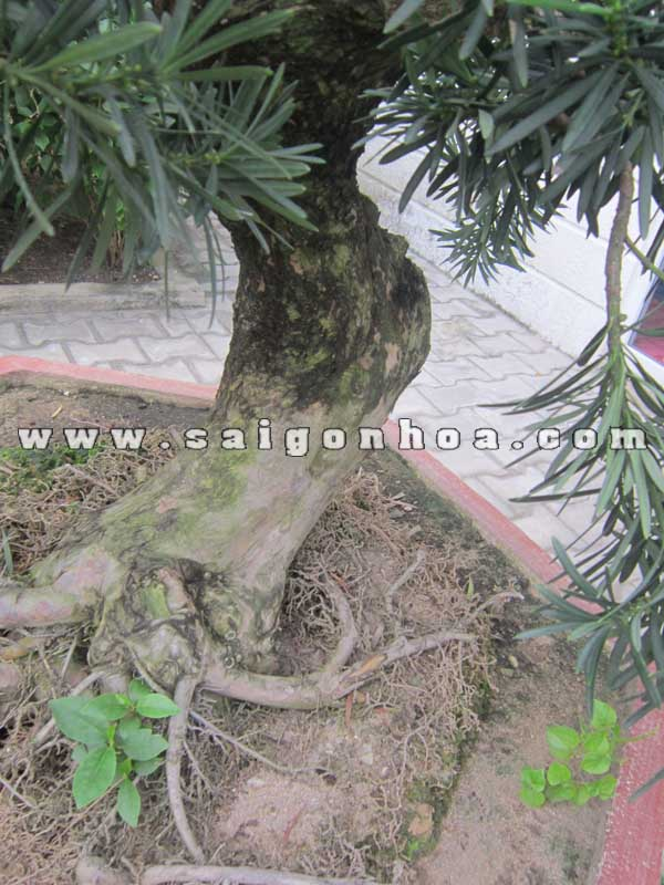 than goc cay van nien tung bonsai cao 1 m