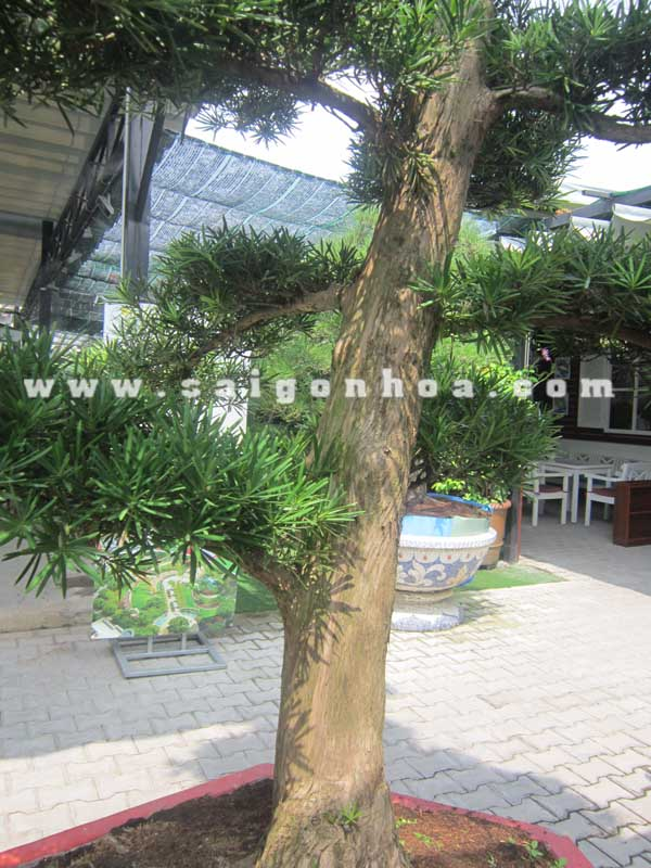 than goc cay van nien tung bonsai cao 2.8 - 3 m