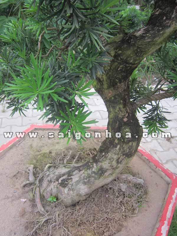 than la cay van nien tung bonsai cao 1.1 - 1.2 m
