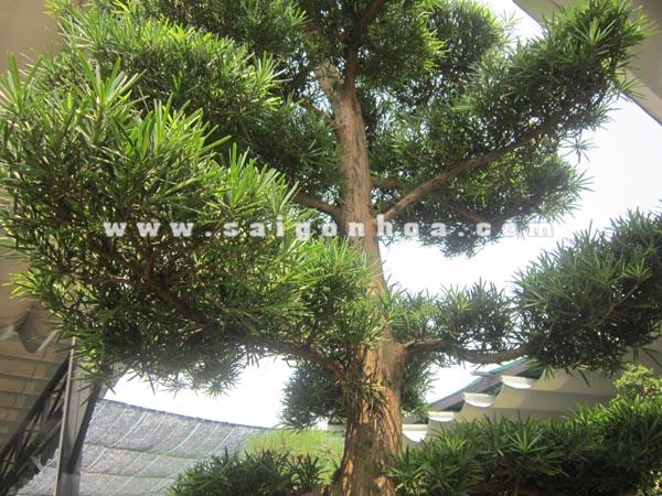 than tan la cay van nien tung bonsai cao 2.8 - 3 m