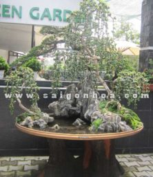 Tieu Canh Cay Sam Nui Trai Bonsai Trang Tri Quan Cafe