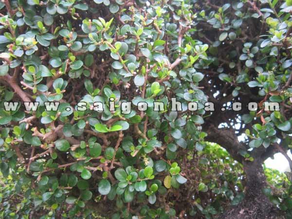 canh la cay sam nui trai bonsai