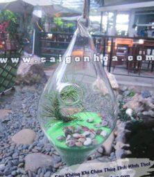 Cay Khong Khi Chau Hinh Thoi 1