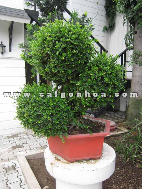 cay sam nui trai bonsai cao 70 cm chua cat tia