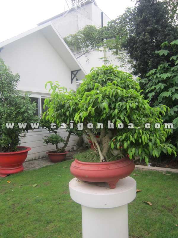 cay sanh bonsai cao 80 cm trang tri cafe