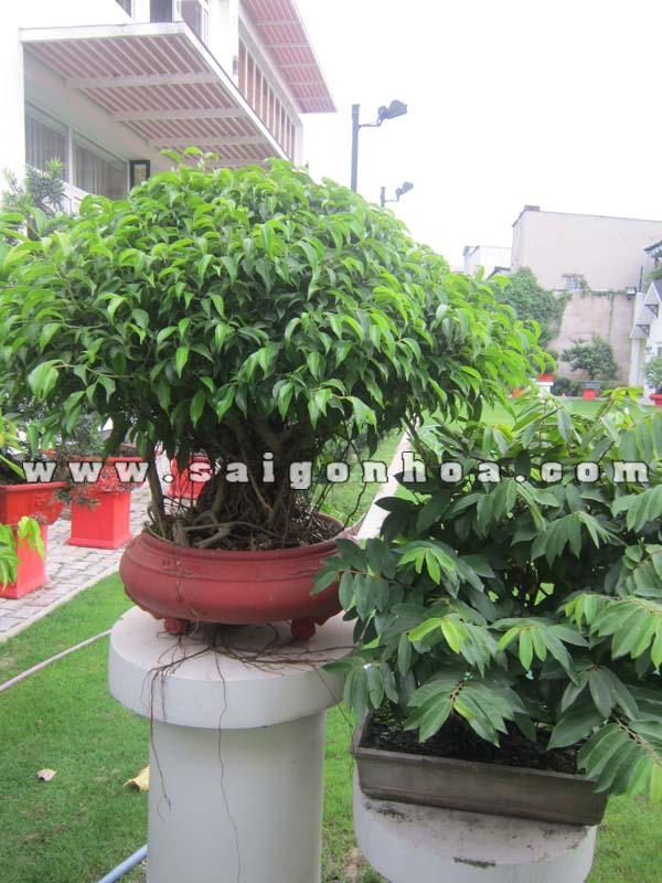cay sanh bonsai cao 80 cm trang tri