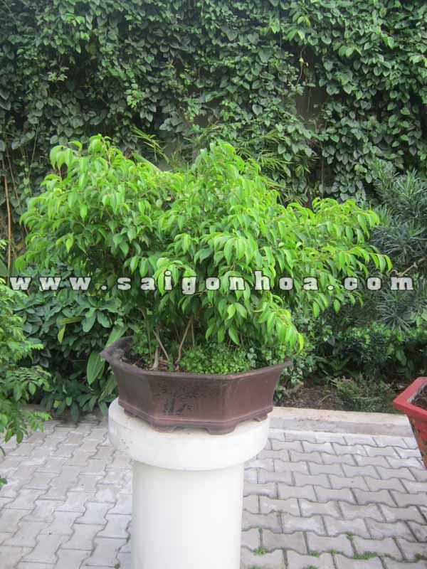 Chau Cau Sanh Bonsai Cao 70 Cm Trang Tri San Vuon