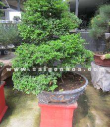 Chau Cay Kim Quýt Bonsai Cao 90 Cm