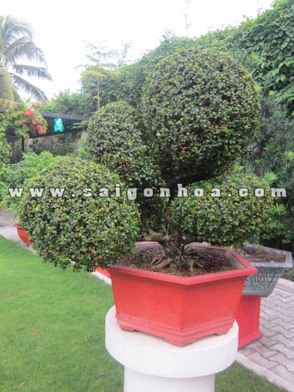 chau cay sam nui trai bonsai cao 70 cm trang tri san vuon