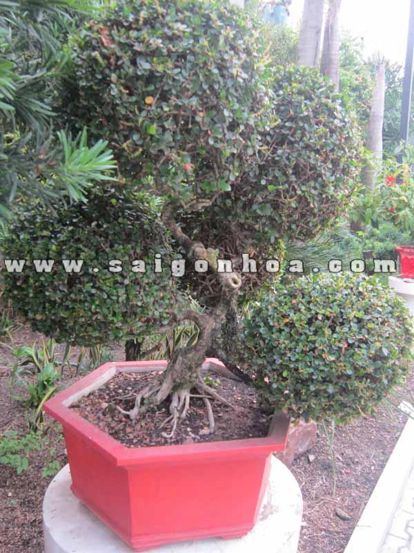 chau cay sam nui trai bonsai cao 70 cm