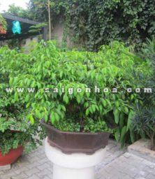 Chau Cay Sanh Bonsai Cao 70 Cm