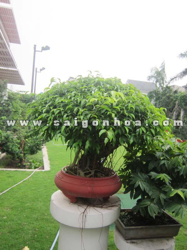 chau cay sanh bonsai cao 80 cm trang tri san vuon