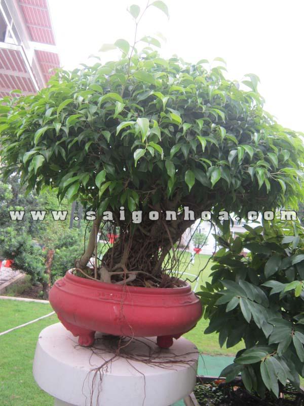 chau cay sanh bonsai cao 80 cm