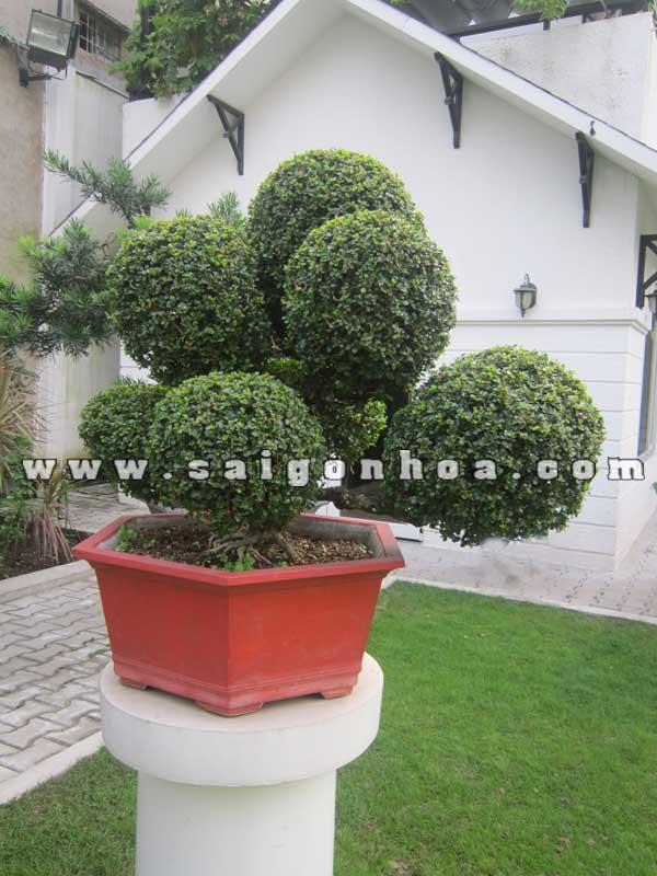 chau sam nui trai bonsai cao 70 cm