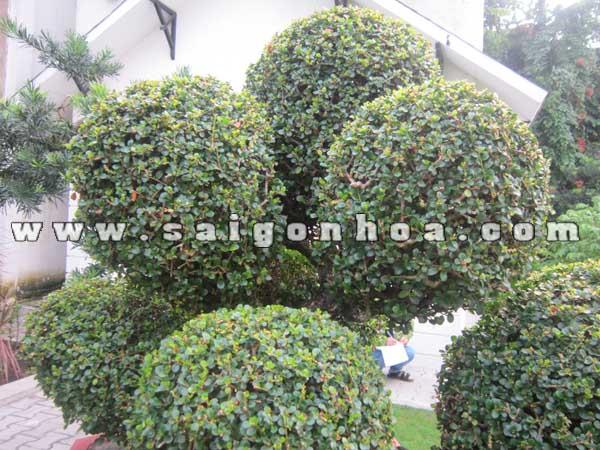 cum tan la cay sam nui trai bonsai cao 70 cm