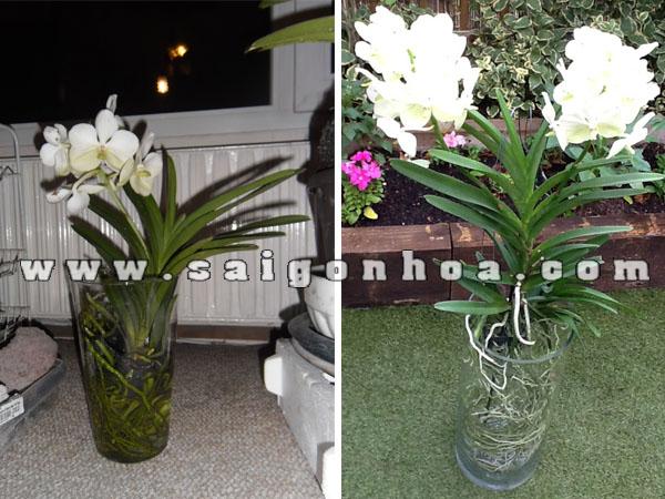 hoa lan vanda trang cam binh