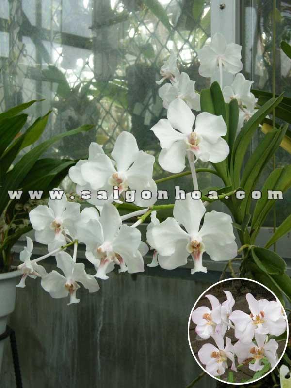 hoa lan vanda trang