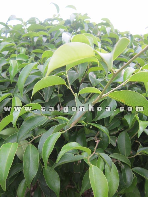 la cay sanh bonsai