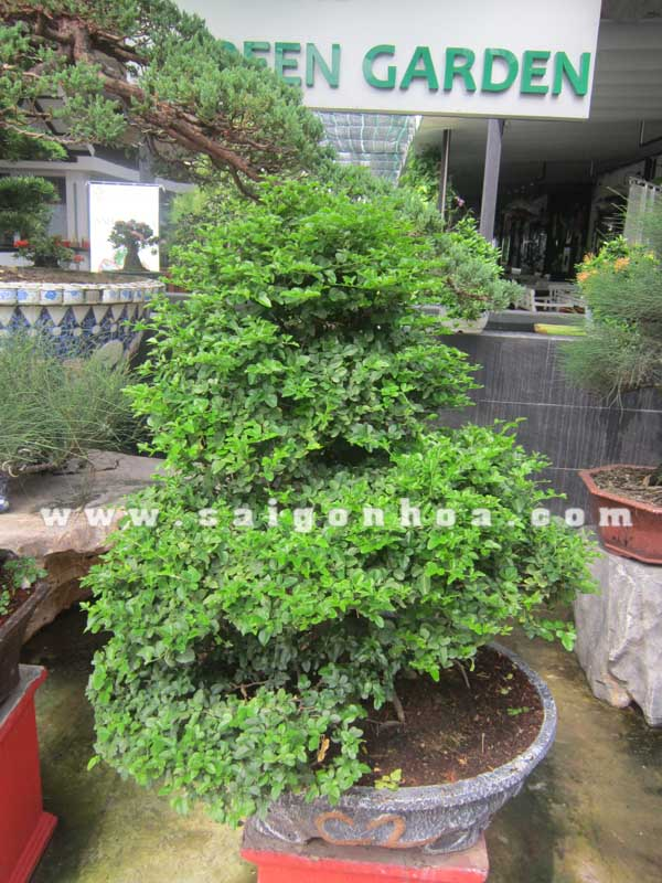 Tan La Cay Kim Quyt Bonsai Cao 90 Cm