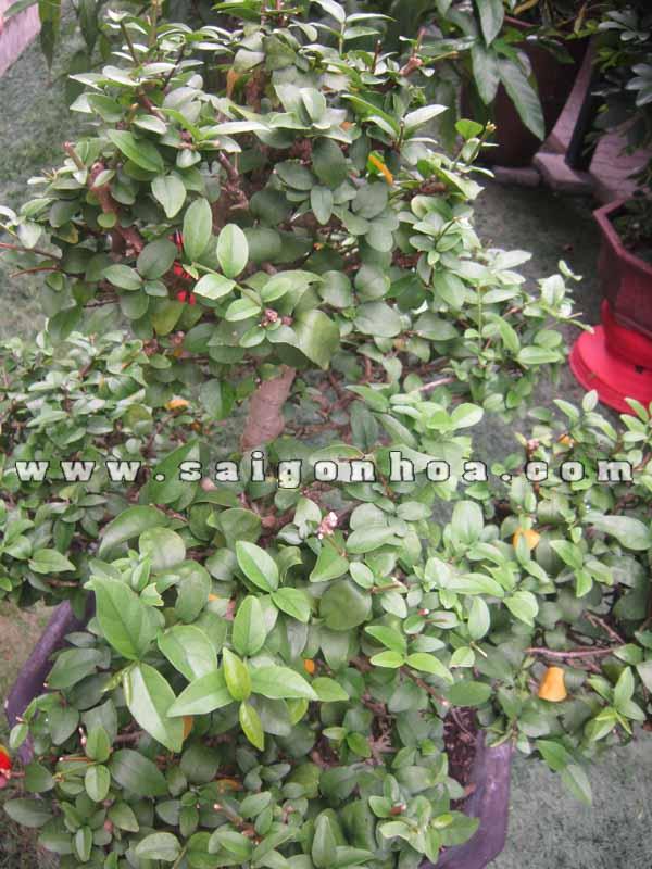 Tan La Cay Mai Chieu Thuy Bonsai Cao 50 Cm