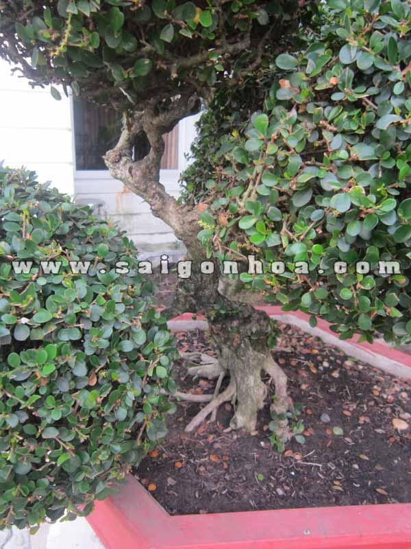 than cay sam nui trai bonsai cao 70 cm