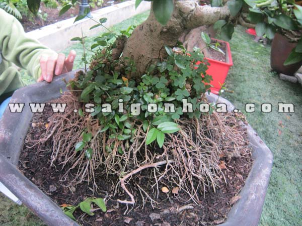 Than Goc Cay Mai Chieu Thuy Bonsai Cao 50 Cm