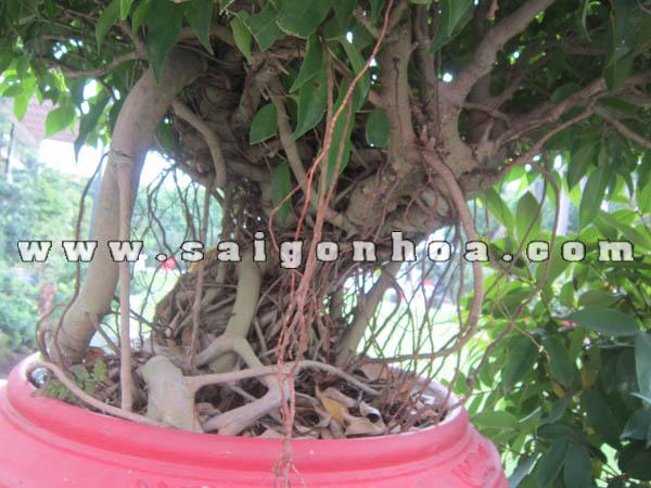 Than Goc Re Khi Cay Snh Bonsai Cao 80 Cm