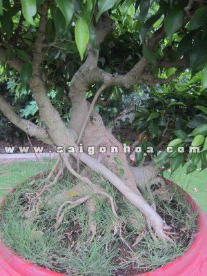 u than cay sanh bonsai cao 80 cm