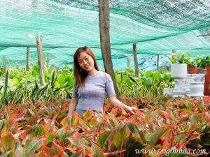vườn ươm cây phú quý