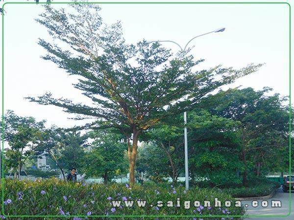cây bàng đài loan - cây trồng tôn tạo cảnh quan