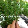 Kỹ thuật trồng cây hương thảo