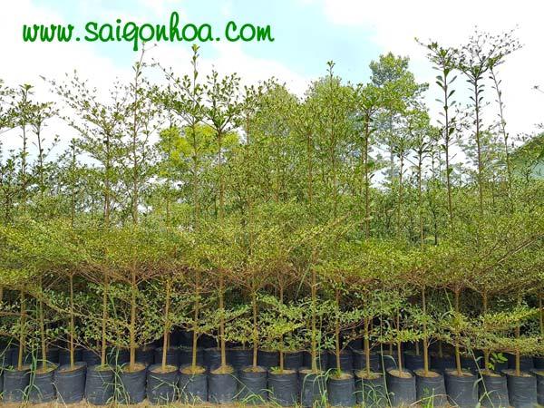 cây bàng đài loan trồng công trình