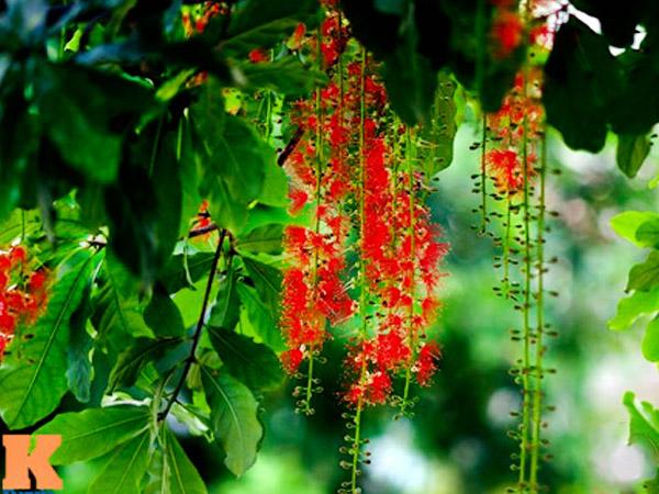 Yếu tố ảnh hưởng đến sự ra hoa của cây lộc vừng