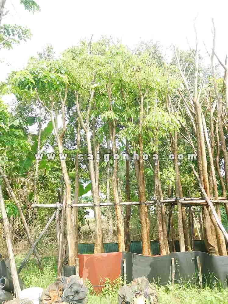 Cách trồng và chăm sóc cây giáng hương