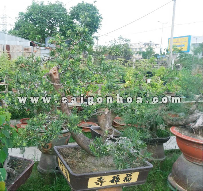 Van Nien Tung Bonsai 3