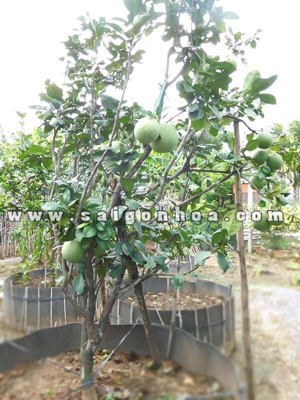 cây ăn quả trồng chậu