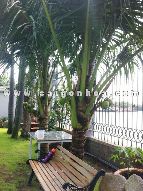trồng cây dừa xiêm