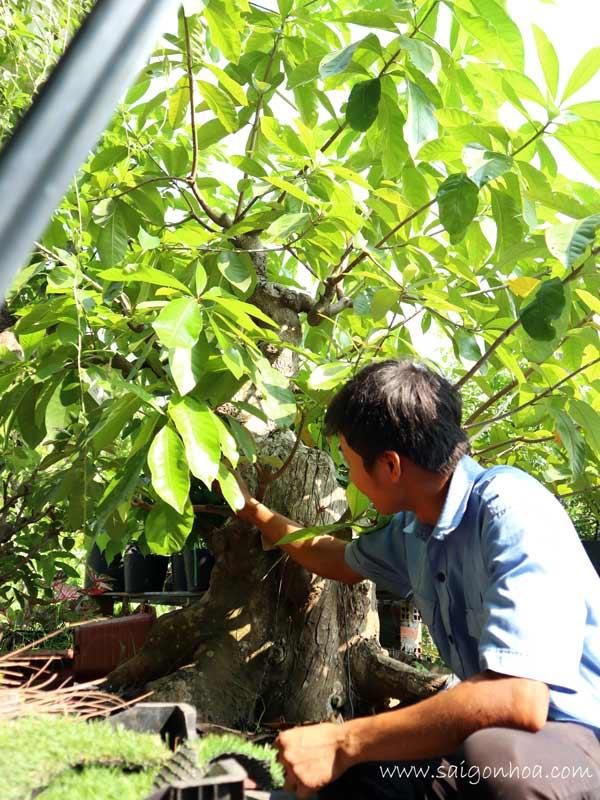 lộc vừng bonsai