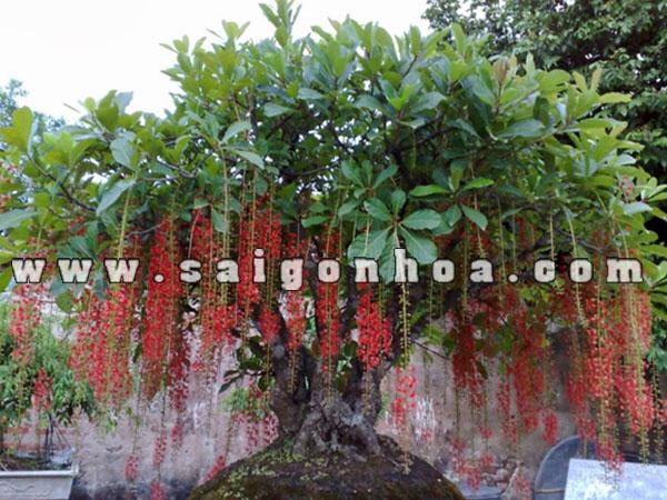 Chau Cay Loc Vung Bonsai
